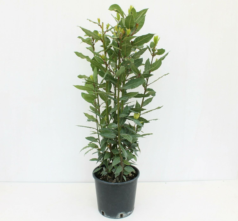 Alloro ( Laurus nobilis )