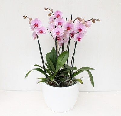 Orchidee Phalaenopsis in Vaso Tondo Resina