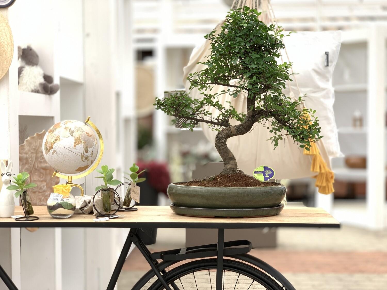 Bonsai Zelkova ( Olmo Giapponese )