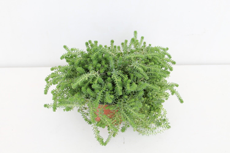 Sedum ( Green Combo )