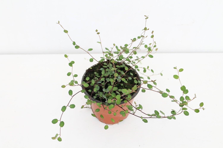 Muehlenbeckia Vaso 10 ( Green Combo )
