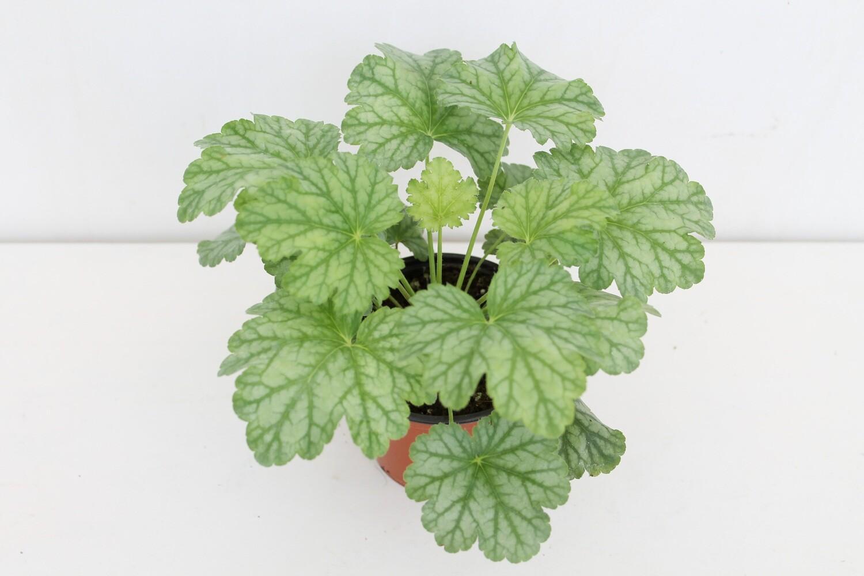 Heuchera Verde Vaso 10 ( Green Combo )