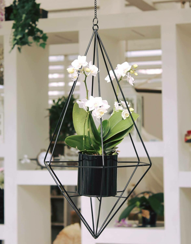 Orchidea Phalaenopsis da appendere
