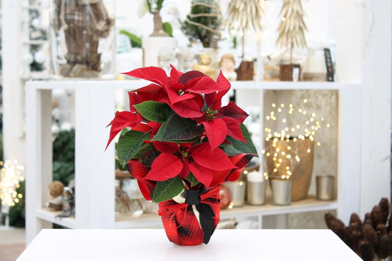 Stella di Natale Rossa V.10 Spuntata