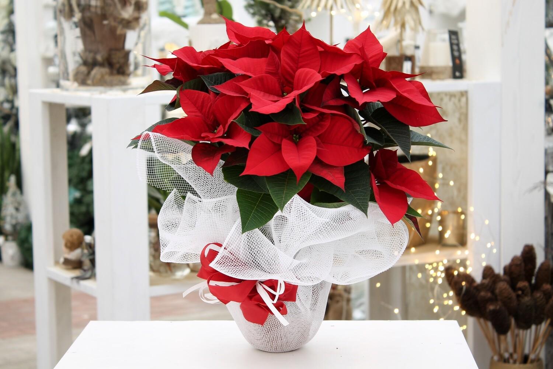 Stella di Natale Rossa V.15 in Terracotta