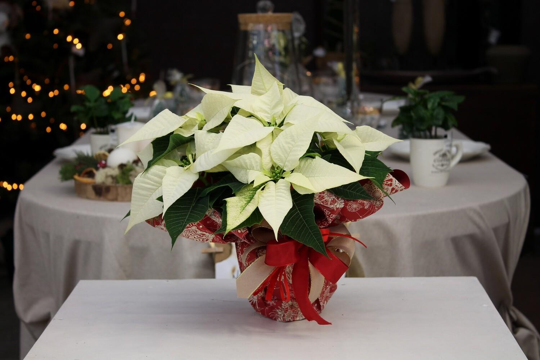 Stella di Natale Bianca V.12