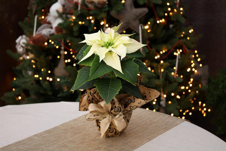 Stella di Natale Bianca V.10 Uniflora