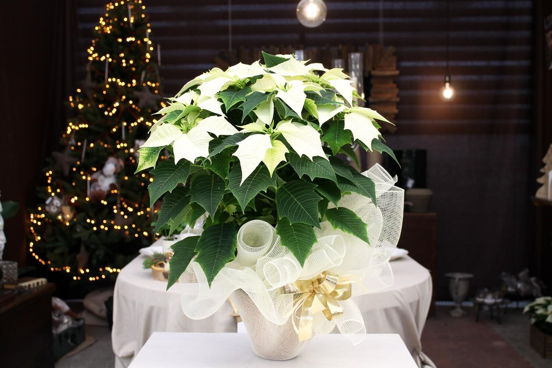 Stella di Natale Bianca V.17 in Terracotta