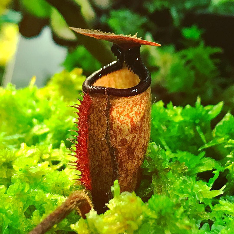 Nepenthes argentii Guiting-Guiting, Sibuyan Island Seed Grown
