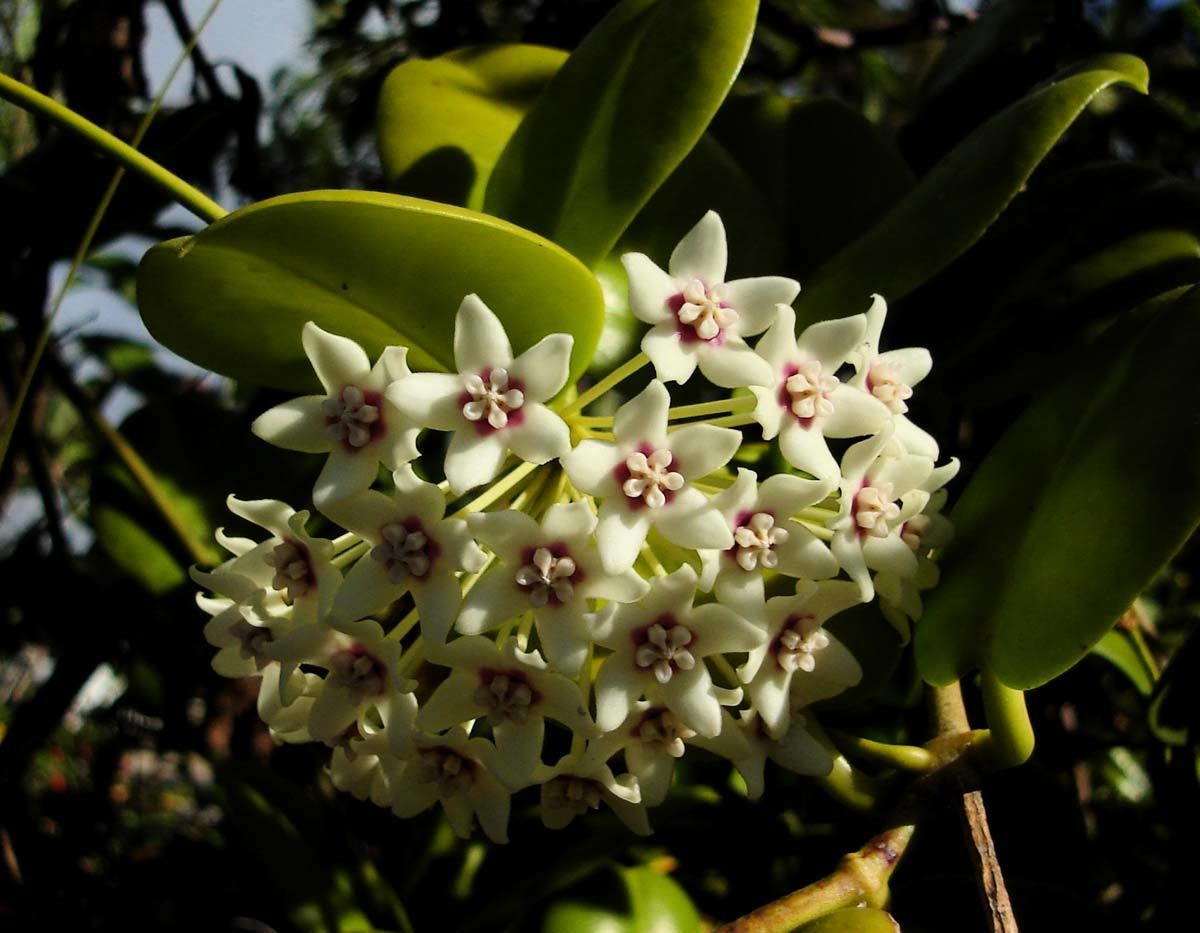 Hoya australis ssp. australis - two plants in one pot! WYSIWYG