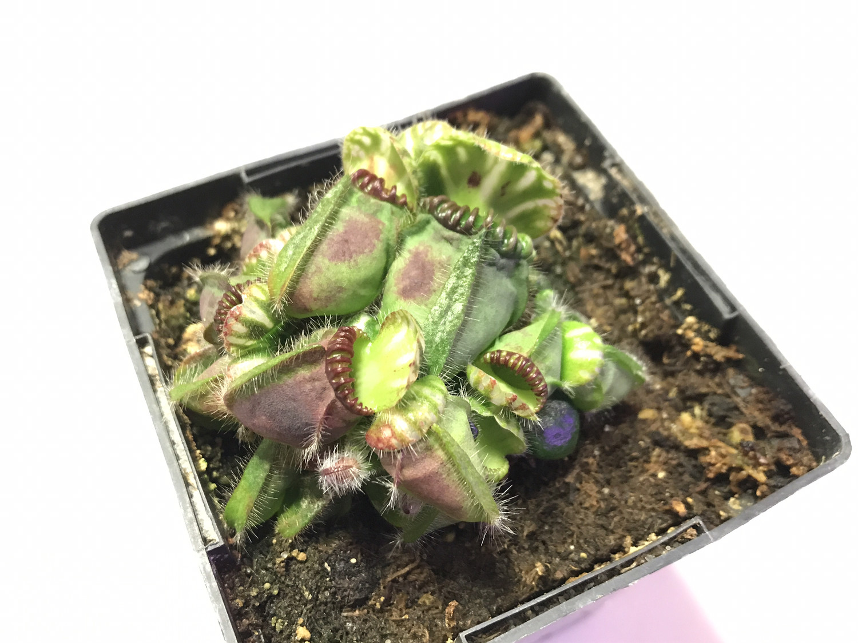 Cephalotus follicularis (Albany pitcher plant)