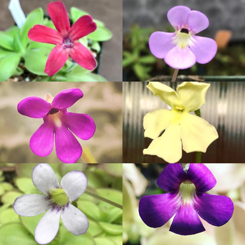 Pinguicula Lovers Carnivorous Plant Starter Kit (6 Butterworts)