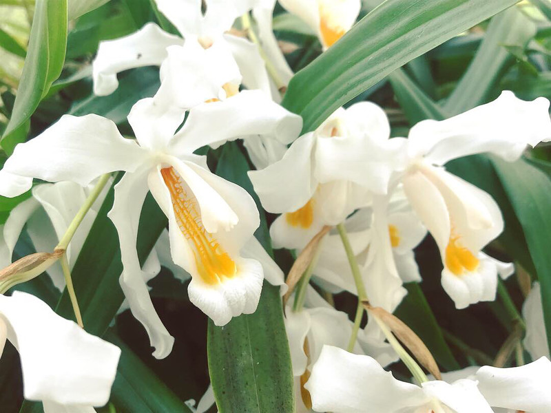 Coelogyne cristata Orchid