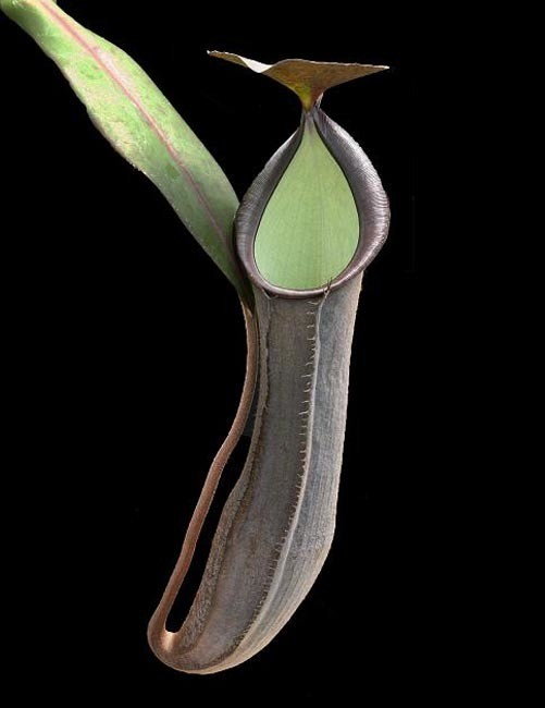 Nepenthes ramispina BE-3929