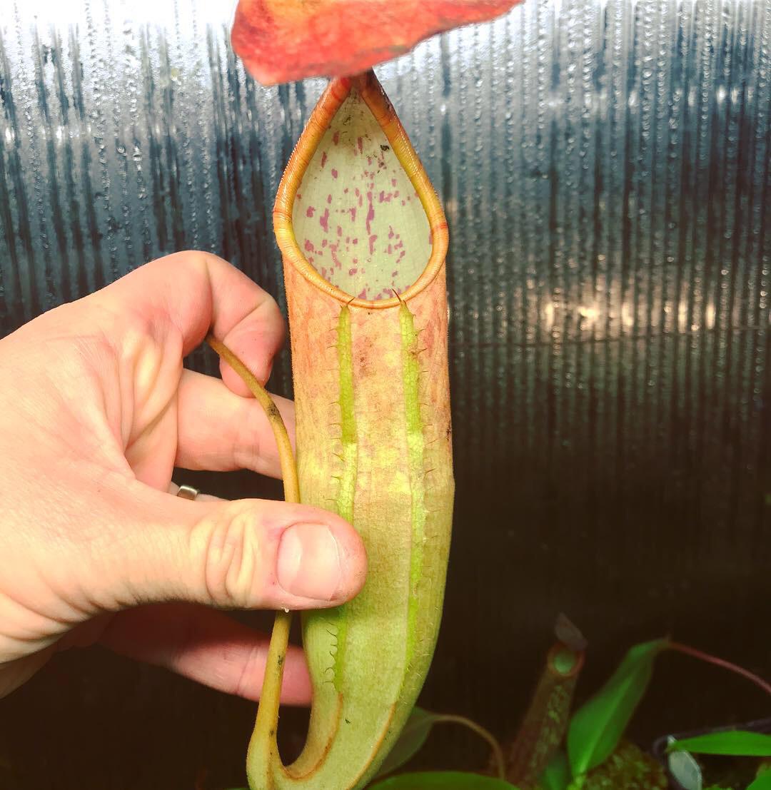 "Nepenthes sanguinea ""Orange""  (Large)"