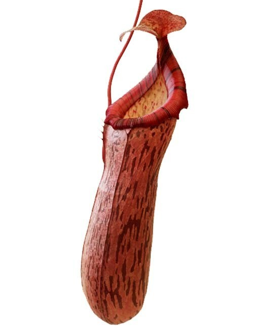 Nepenthes spectabilis x ventricosa BE-3745 (Small)