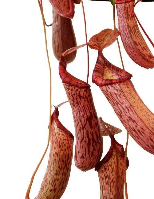 Nepenthes spectabilis x ventricosa BE-3745 (Medium)