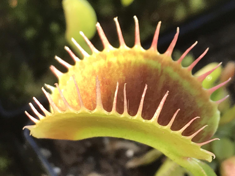 Dionaea muscipula  Southwest Giant Venus Flytrap (small)
