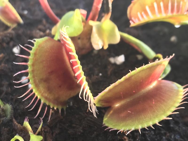 """Dionaea muscipula """"Titan"""" Venus Flytrap (small)"""