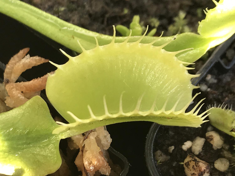 """Dionaea muscipula """"Green Giant"""" Venus Flytrap (small)"""