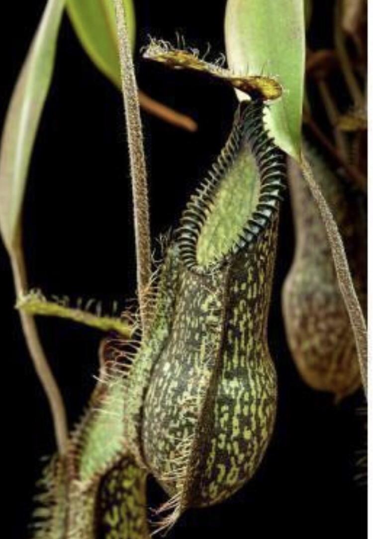 Nepenthes hamata ' Gng. Tambusisi' BE-3975 (X-small)