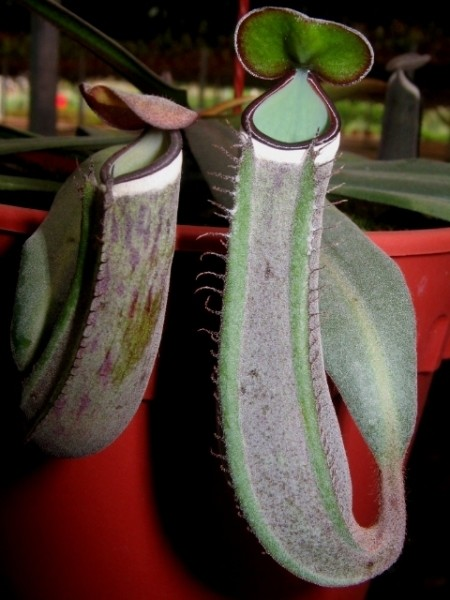 Nepenthes albomarginata Kuching Spotted -  Near Black Pitchers!