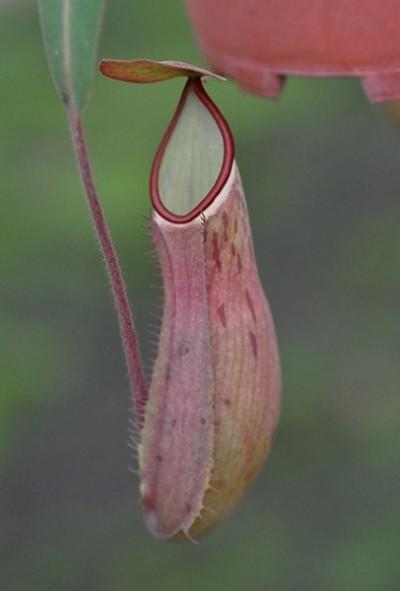 Nepenthes albomarginata Cameron Highlands (Large)