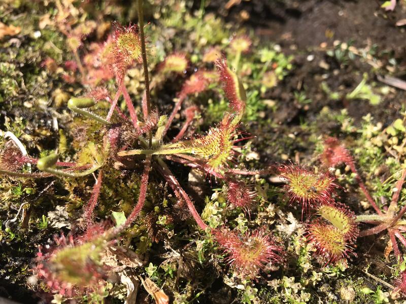 Drosera rotundifolia The round-leaved Sundew