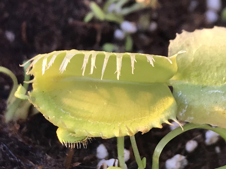 Dionaea muscipula Triton Venus Flytrap (small)