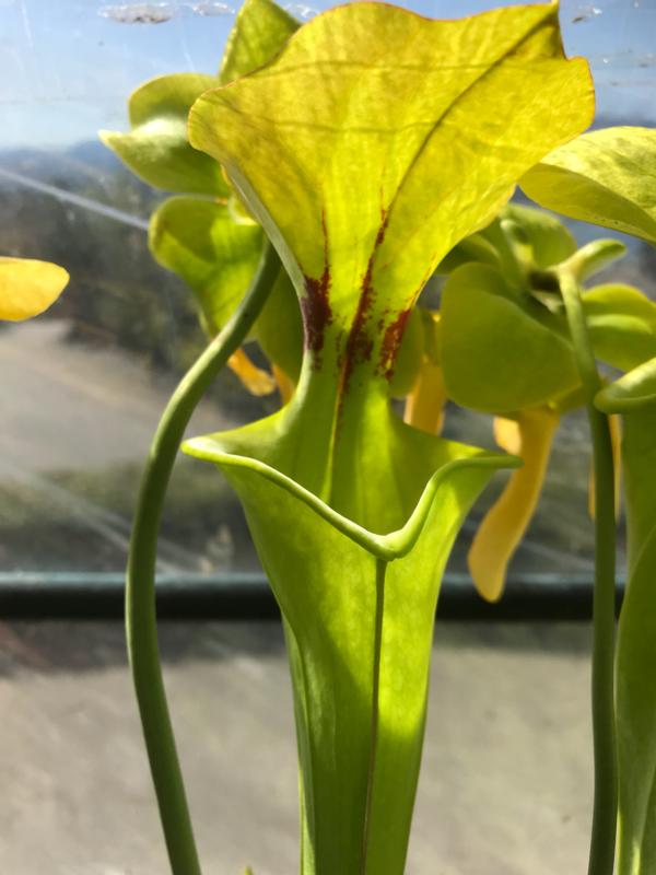 Sarracenia flava -Assorted  Green Forms
