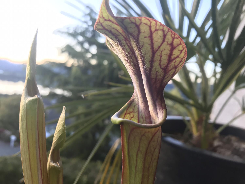 Sarracenia (alata Nigra purpurea x  purpurea Venosa) x F. atropurpurrea -Black Pitchers