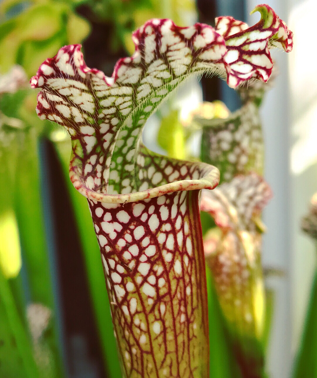 "Sarracenia leucophylla ""Tarnok"" Registered Cultivar"