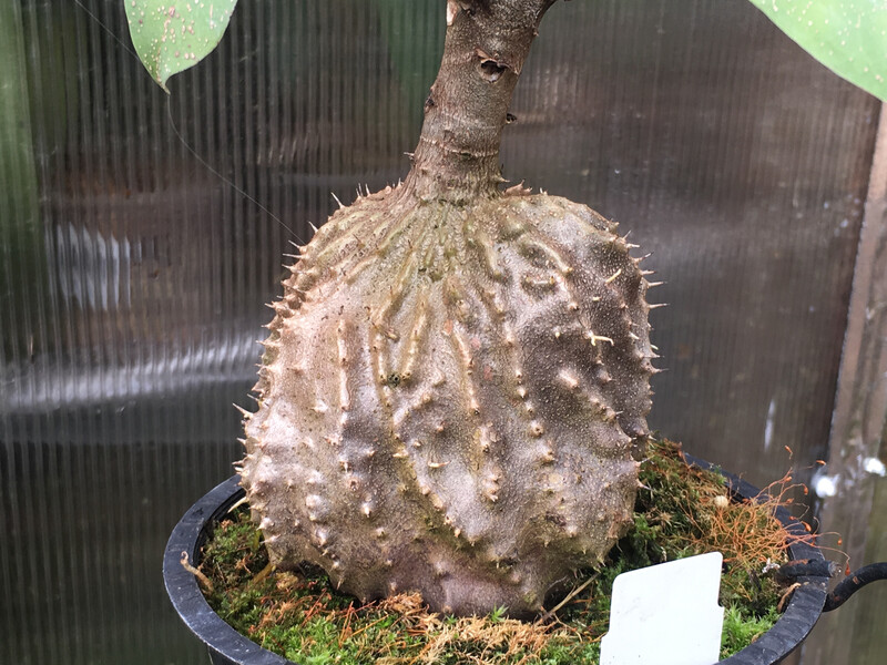 Ant Plant - Myrmecodia armata