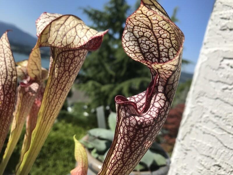 "Sarracenia Wrigleyana ""Giant Form""  X Oreophila sand mountain Seed Grown"