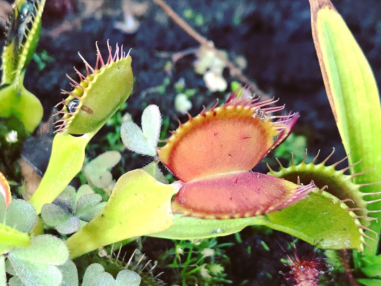 Dionaea muscipula Typical Venus Flytrap (small)