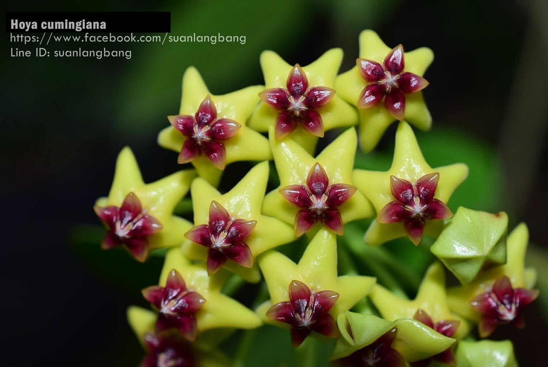 Hoya cumingiana Stunning species!
