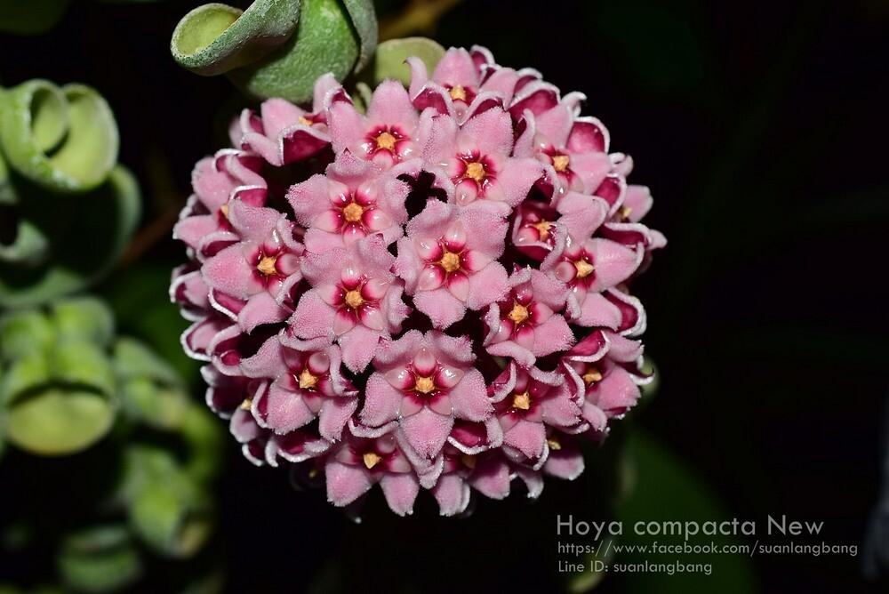 "Hoya compacta ""New"""