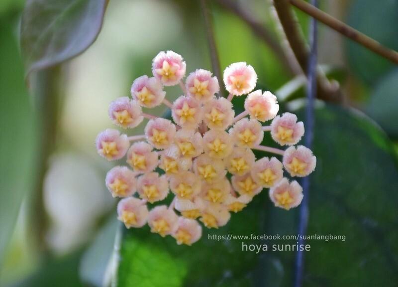 Hoya Cv Sunrise