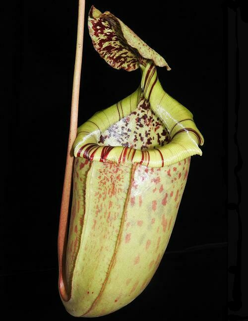 Nepenthes burbidgeae x sibuyanensis BE- 3885 (Medium)