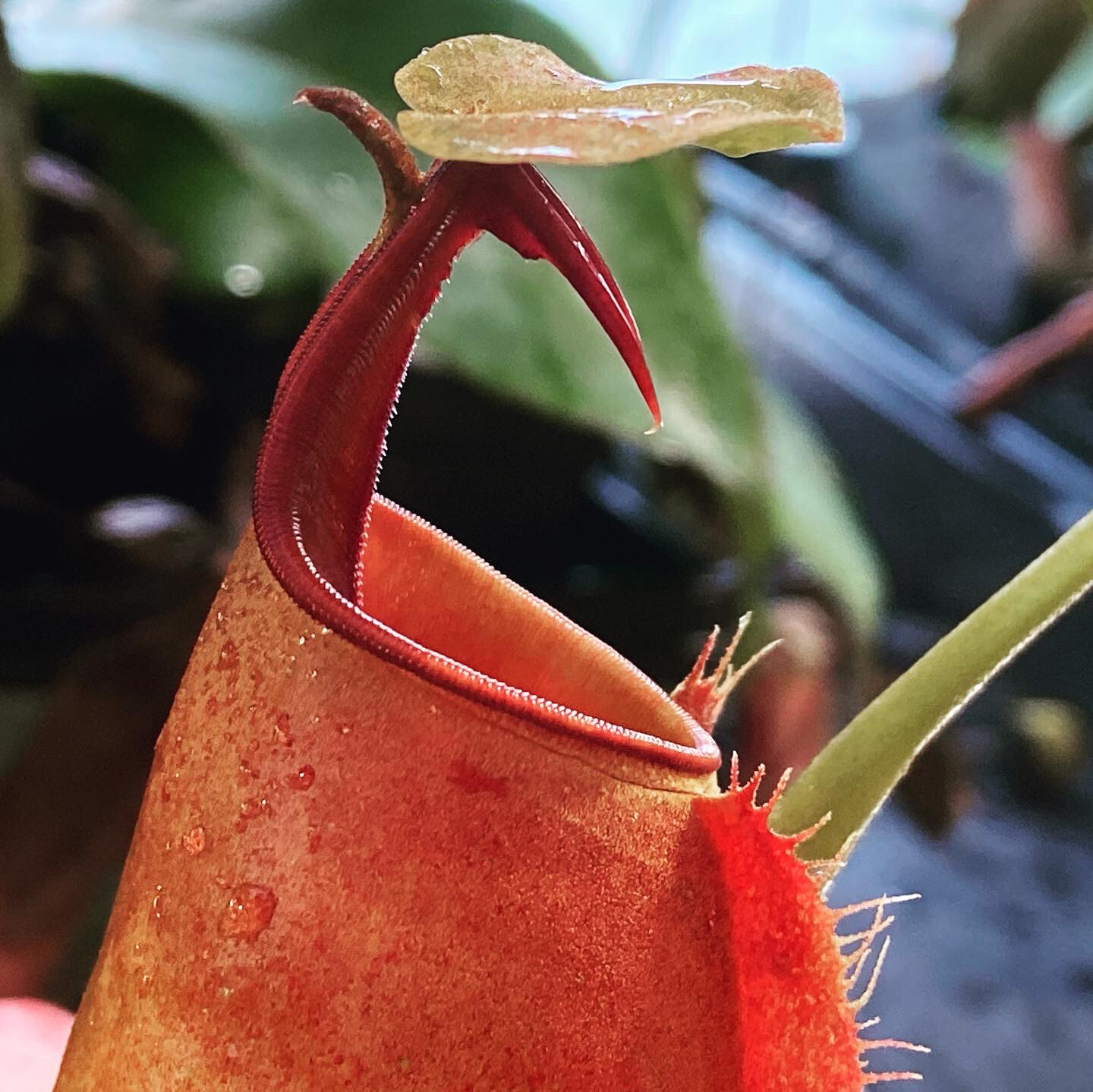 "Nepenthes bicalcarata ""Red Flush"" BE-3031"