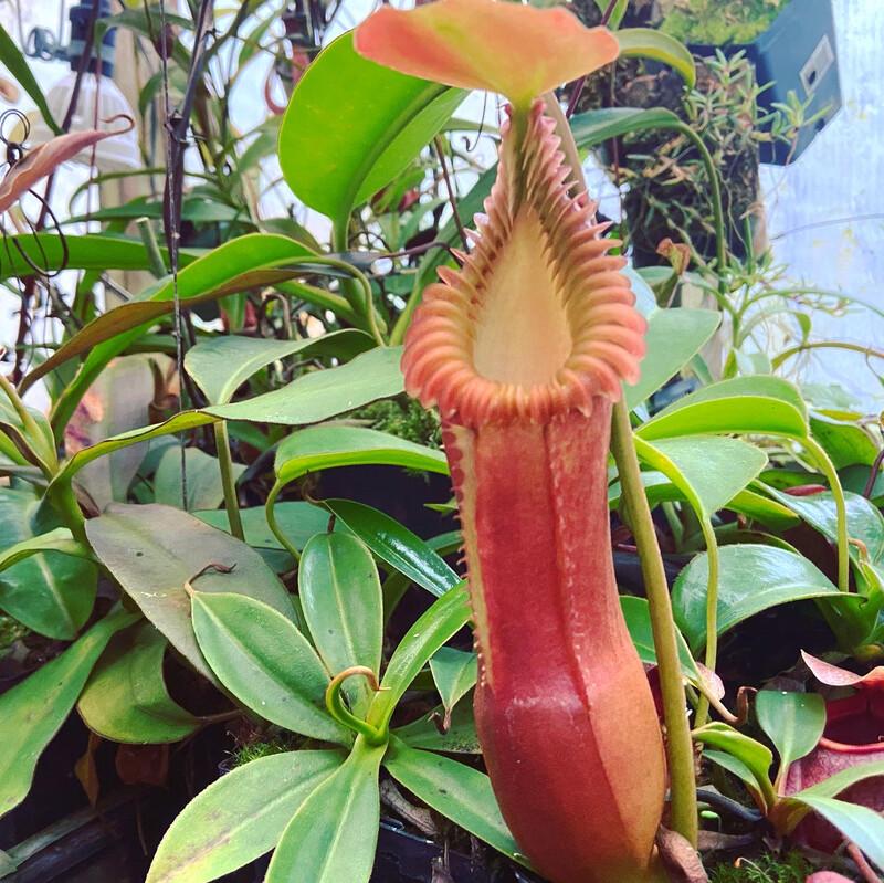Nepenthes edwardsiana