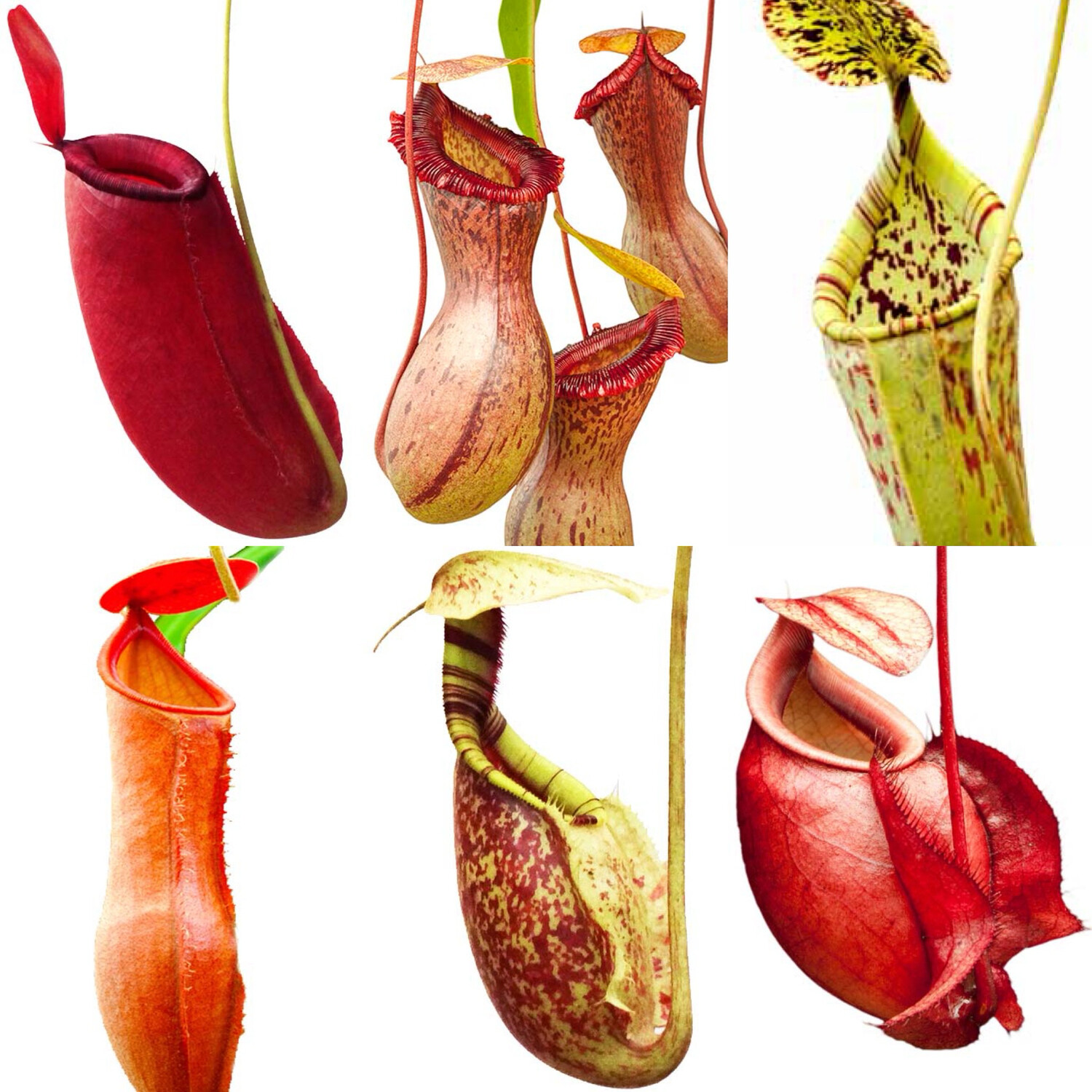 Nepenthes Lovers Carnivorous Plant Starter Kit (5 Nepenthes)