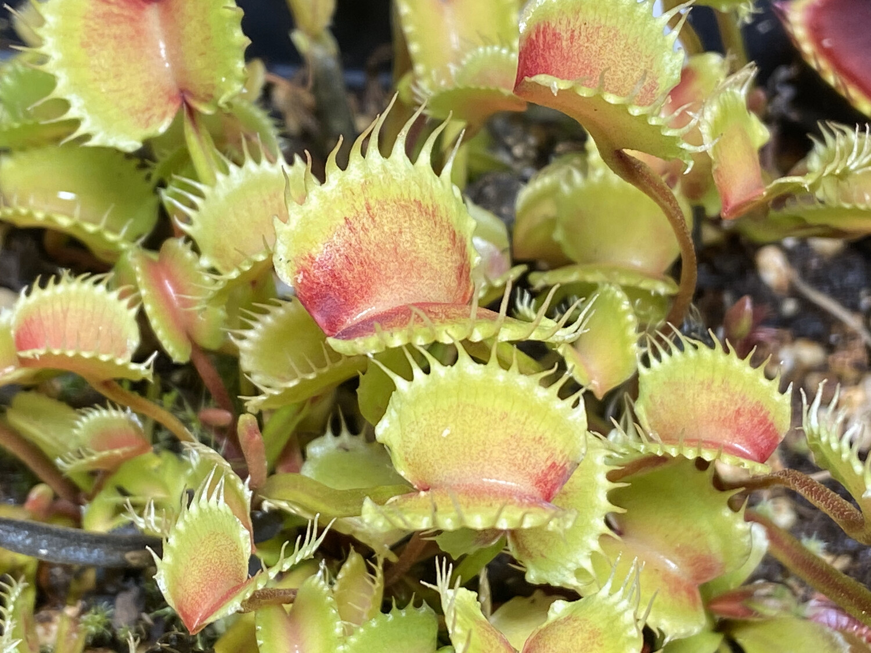 Dionaea muscipula Werewolf Venus Flytrap (small)