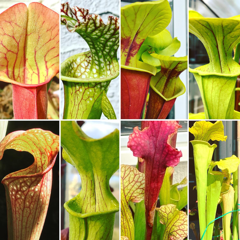 Sarracenia Lovers Carnivorous Plant Starter Kit (6 Sarracenia)