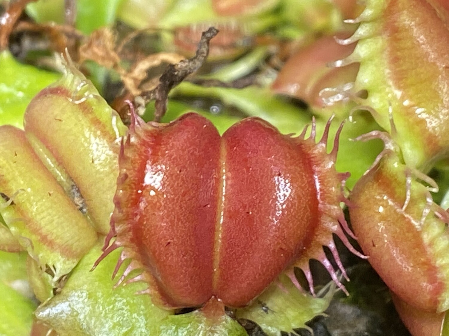 Dionaea muscipula Angel Wings Venus Flytrap (small)