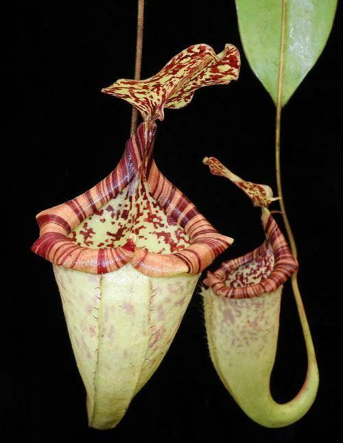 Nepenthes burbidgeae X platychila BE-3886 Big Plants!