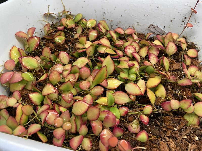Hoya heuschkeliana