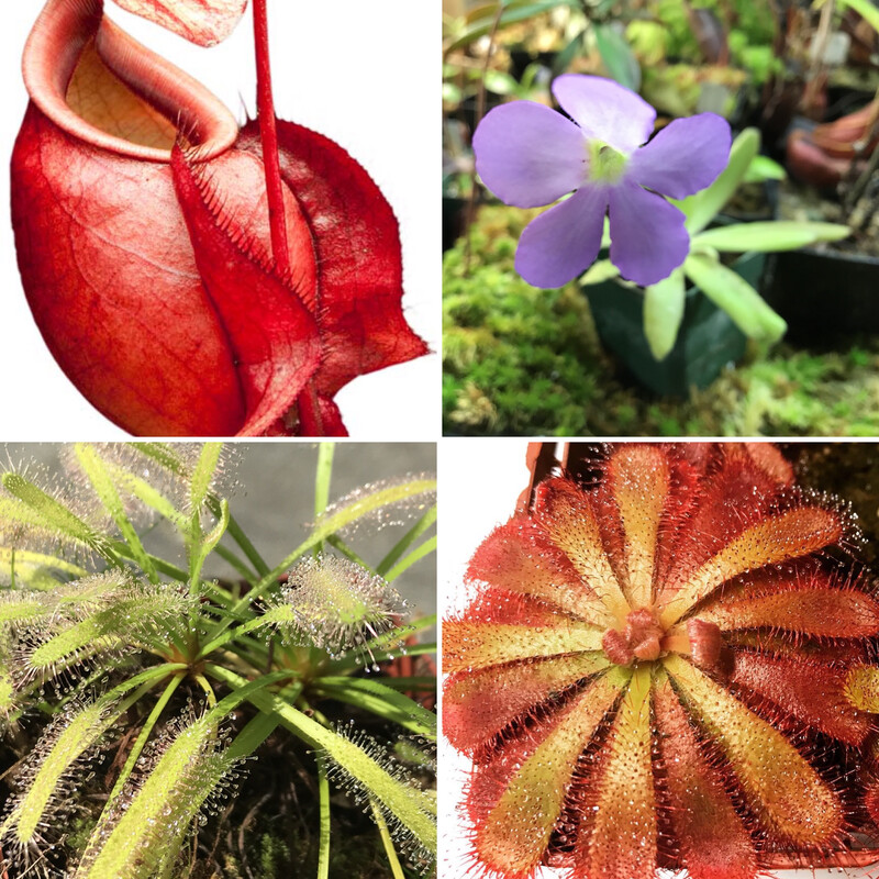 Basic Beginners Carnivorous Plant Starter Kit 2.0