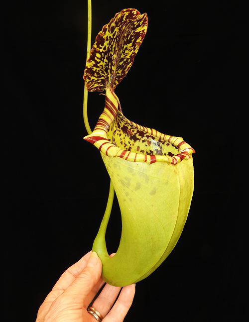 Nepenthes burbidgeae x campanulata