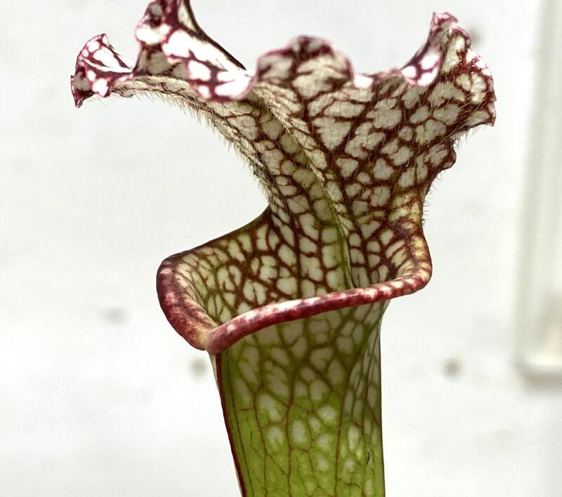 Sarracenia leucophylla var. leucophylla